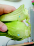 """油菜为啥有蓝色""""橡皮泥""""农药残留检测仪"""