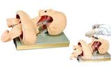 带解剖结构的成人气管插管操作模型