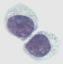 小鼠杂交瘤细胞(抗小鼠CD4),GK1.5