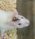 小动物脑电心电遥测记录系统