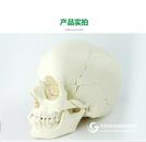 ENOVO颐诺医学用人体头骨模型头颅骨拼装可拆美容微整形教学头骨