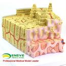 ENOVO颐诺骨结构模型 显微解剖模型骨髓内结构骨科教学医学教学