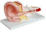 耳模型 人体解剖模型 耳结构模型模型  产品货号: wi114387