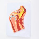 ENOVO頤諾醫學解剖 肩關節骨骼肌肉模型球窩關節剖面 肩關節構造MRI關節肌肉骨骼解剖骨科教學