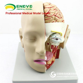 ENOVO頤諾人體醫學顱腦模型矢狀竇大腦解剖模型口腔耳鼻咽喉模型