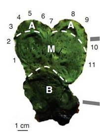 FluorPen手持式叶绿素荧光仪