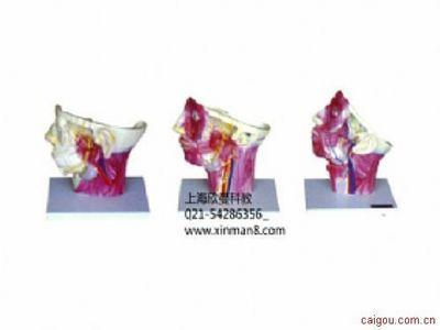 头面及颈部血管神经分布模型