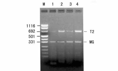 美国Sciencell 小鼠腹水瘤 细胞株S180