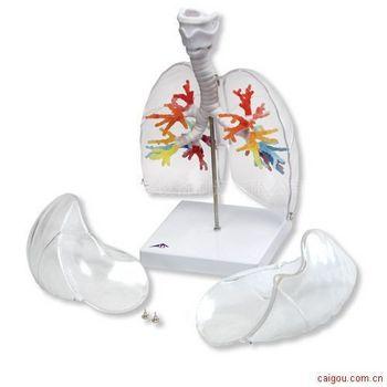 名称:CT支气管带咽喉和透明肺叶