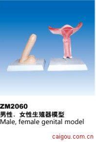 男性/女性生殖器模型