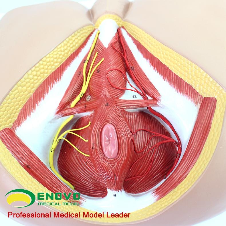 ENOVO颐诺男性会阴血管神经骨盆底肌解剖模型 生殖泌尿肛肠普外科